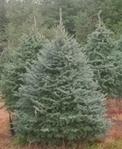 Balsam Ridge Christmas Tree Farm